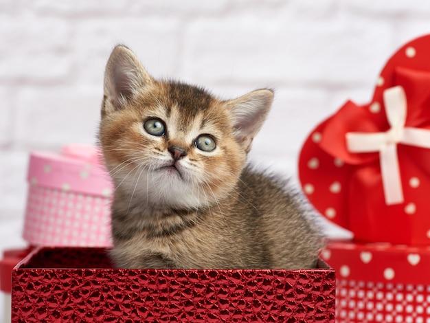 Nettes kätzchen schottischer chinchilla gerade rasse sitzt auf einem weißen hintergrund und kästen mit geschenken, festlicher hintergrund