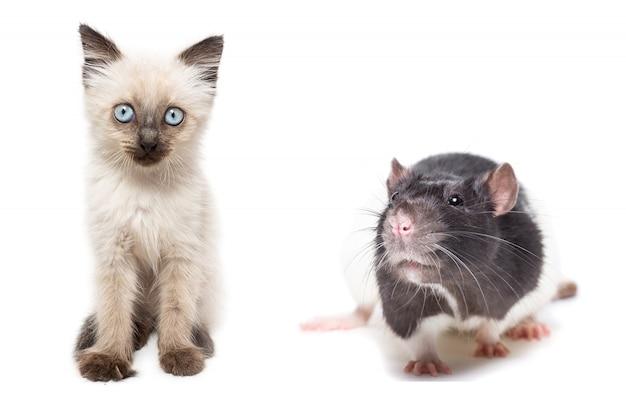 Nettes kätzchen und rattenaufstellung isoliert