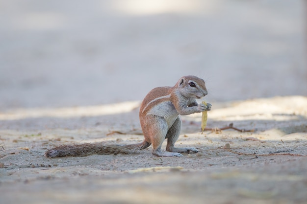 Nettes kleines eichhörnchen, das auf der mitte des sandbedeckten bodens steht
