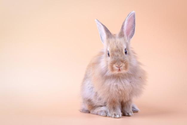 Nettes kleines kaninchen, das auf einem orange hintergrund steht