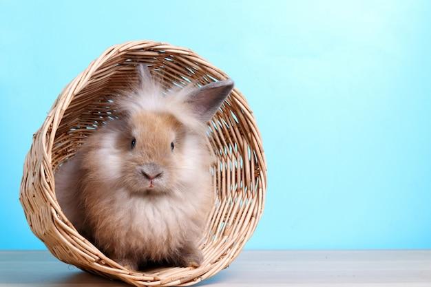 Nettes kleines kaninchen, weich, weiß und hellbraun in einem hölzernen korb.