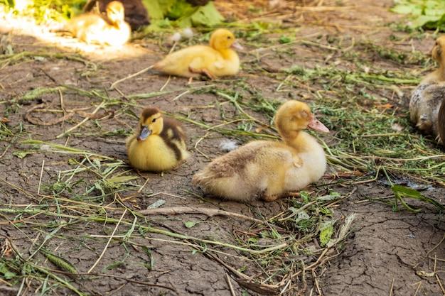 Nettes kleines neugeborenes flauschiges entlein. eine junge ente isoliert auf weißem hintergrund. schöner kleiner vogel.