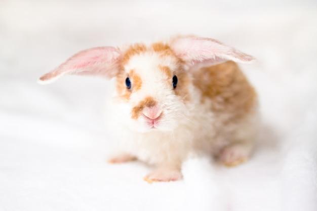 Nettes kleines orange und weißes farbhäschen mit den großen ohren. kaninchen auf weißem hintergrund.