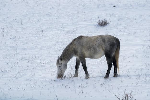 Nettes kleines pferd auf dem verschneiten feld während des wintertages