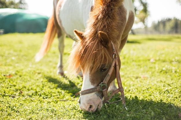 Nettes kleines pony, das in der landseite weiden lässt