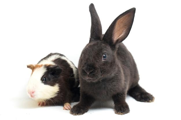 Nettes kleines rex schwarzes kaninchen und meerschweinchen