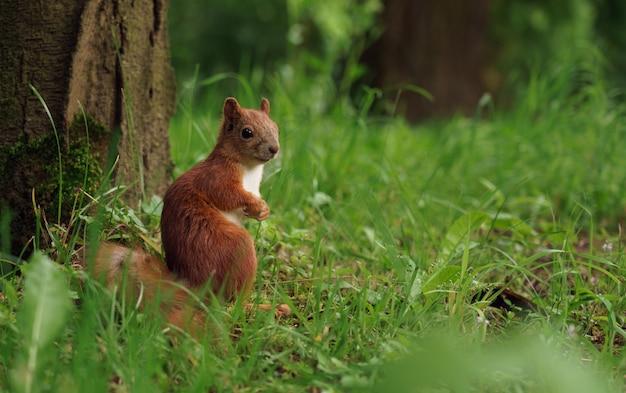 Nettes kleines rotes eichhörnchen, das die kamera betrachtet