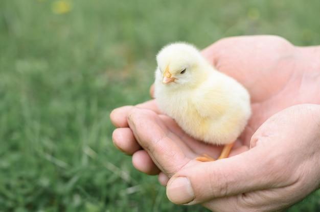 Nettes kleines winziges neugeborenes gelbes babyküken in den männlichen händen des bauern auf grünem grashintergrund