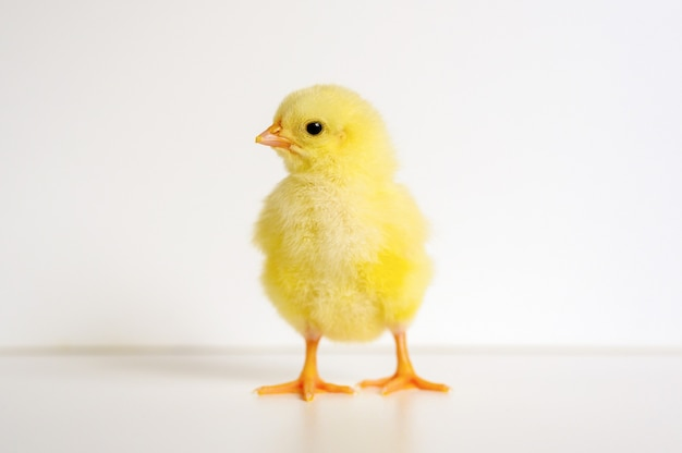 Nettes kleines winziges neugeborenes gelbes küken auf weißer oberfläche