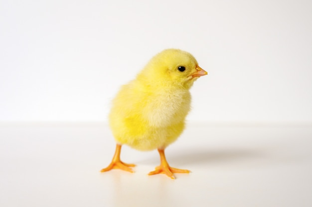 Nettes kleines winziges neugeborenes gelbes küken auf weißer wand