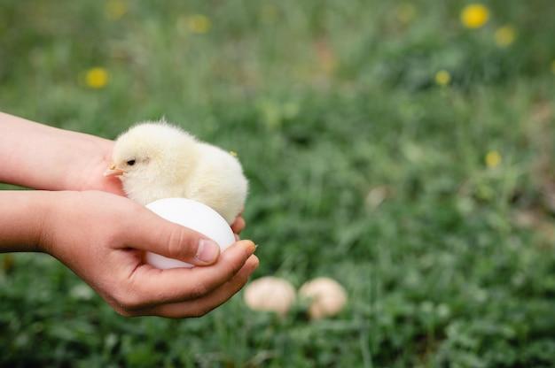 Nettes kleines winziges neugeborenes gelbes küken in den kinderhänden des bauern auf grünem gras und hühnereiern