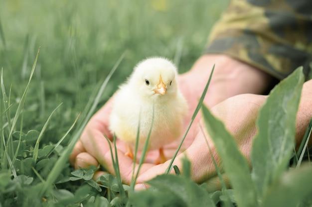 Nettes kleines winziges neugeborenes gelbes küken in den männlichen händen des bauern auf grünem gras