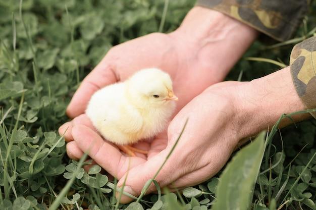 Nettes kleines winziges neugeborenes gelbes küken in den männlichen händen des bauern auf grünem grashintergrund