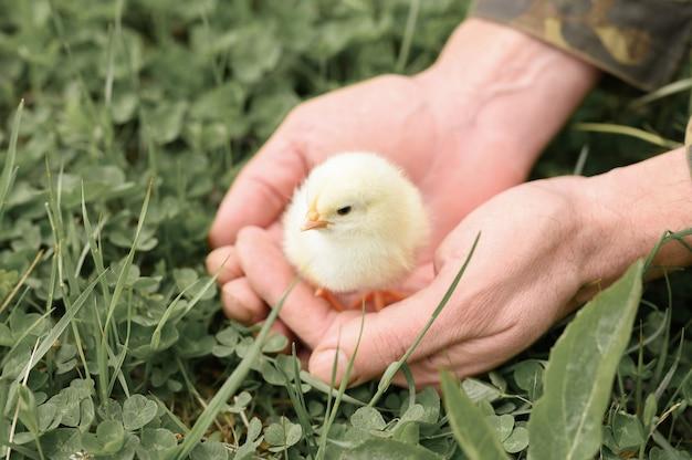 Nettes kleines winziges neugeborenes gelbes küken in den männlichen händen des bauern auf grüner grasoberfläche