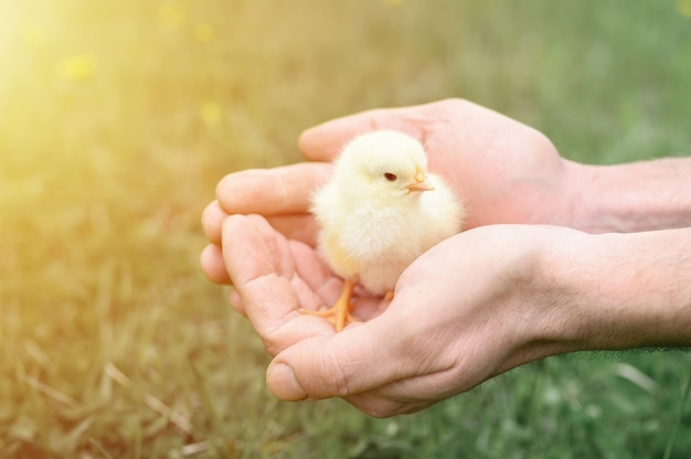 Nettes kleines winziges neugeborenes gelbes küken in den männlichen händen eines mannes.