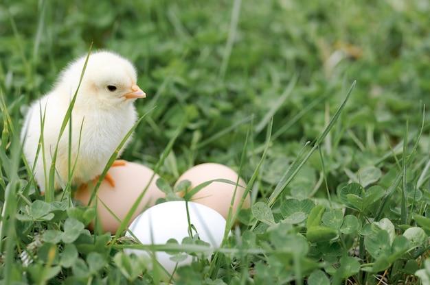Nettes kleines winziges neugeborenes gelbes küken und drei hühnerbauerneier im grünen gras auf natur im freien