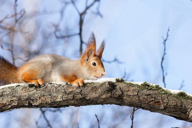 Nettes lustiges eurasisches eichhörnchen mit buschigem schwanz, das auf einem ast im winterschnee sitzt