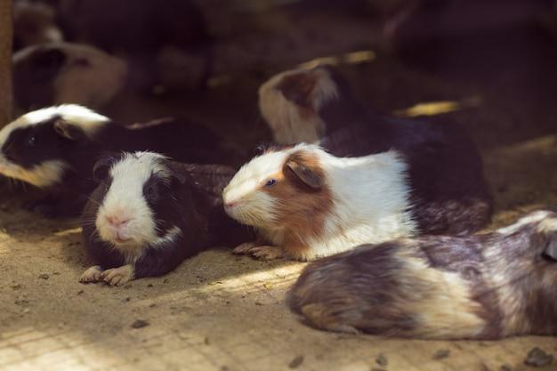 Nettes meerschweinchen auf dem sand, heller sonnenschein