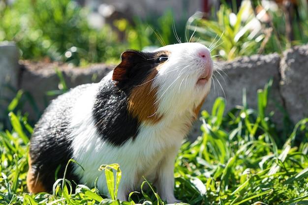 Nettes meerschweinchen auf grünem gras im garten