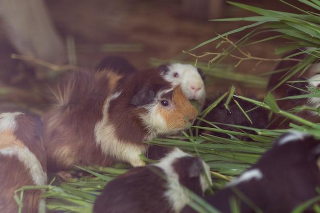 Nettes meerschweinchen, gras essend.