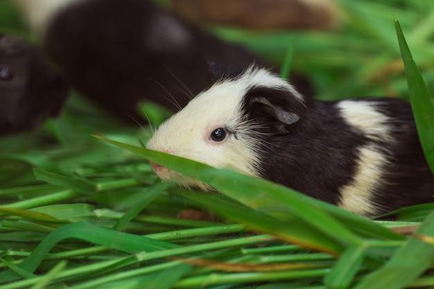 Nettes meerschweinchen schwarzweiss, gras essend.