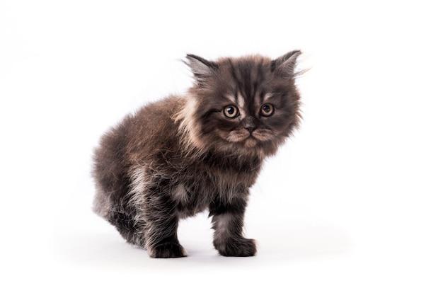 Nettes pelziges dunkles kätzchen, das isoliert auf weißem hintergrund beiseite schaut
