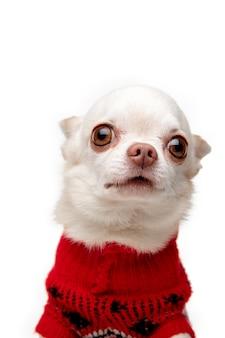 Nettes posieren. kleiner chihuahua-hund, der wie weihnachtshirsch lokalisiert auf weißem hintergrund aufwirft.