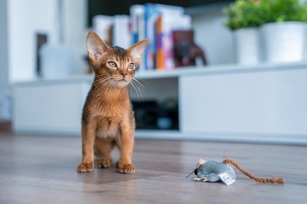 Nettes reinrassiges rötliches abessinisches kätzchen in der küche und im wohnzimmer