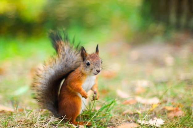 Nettes rotes eichhörnchen auf dem rasen