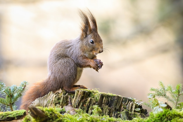 Nettes rotes eichhörnchen, das auf einem moosbedeckten stumpf mit gefalteten händen sitzt