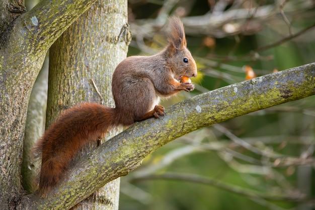 Nettes rotes eichhörnchen, das auf einem zweig sitzt und auf nuss füttert