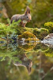 Nettes rotes eichhörnchen, das mit nüssen auf moosbedeckten felsen nahe wasser füttert