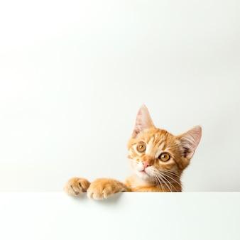 Nettes rotes kätzchen auf weißem hintergrund. verspieltes und lustiges haustier. platz kopieren.