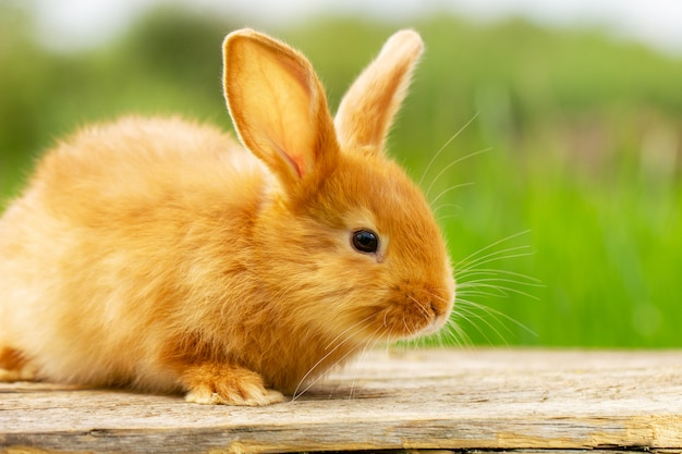 Nettes rotes kaninchen, das auf einem grünen natürlichen hintergrund, frühlingsstimmung sitzt.