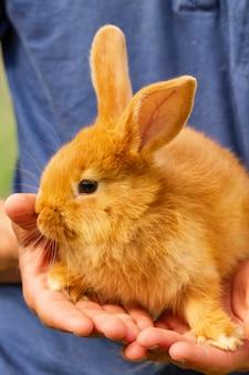 Nettes rotes kaninchen, das auf seinen händen sitzt.