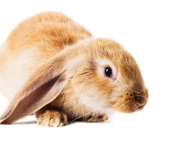 Nettes rotes kaninchen isoliert auf weißem hintergrund