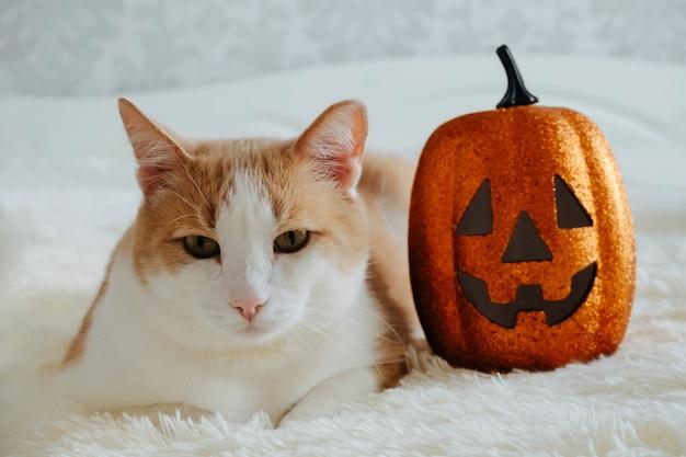 Nettes rotes und weißes katzenporträt mit halloween-kürbis
