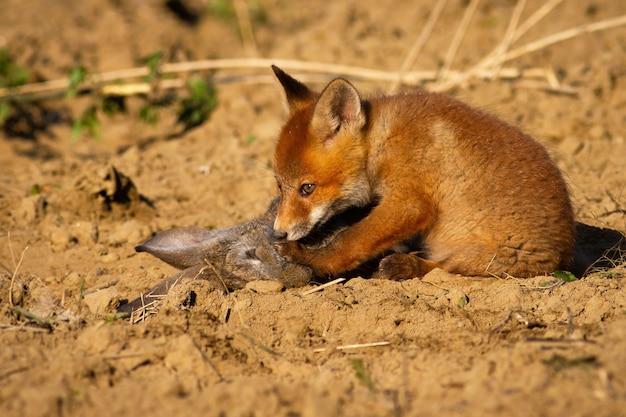 Nettes rotfuchsjunges, das auf dem boden sitzt und totes kaninchen im frühjahr schnüffelt