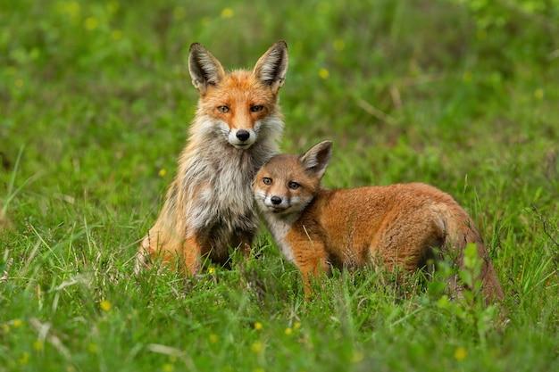 Nettes rotfuchsjunges, das sich an ihre mutter auf grünem gras im frühling schmiegt