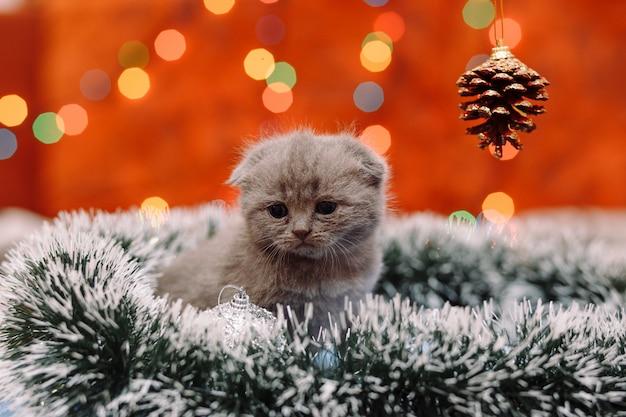 Nettes schottisches kätzchen mit weihnachtshintergrund