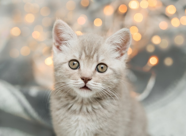 Nettes tabby graues kätzchen mit weihnachtslicht. schottische straße.