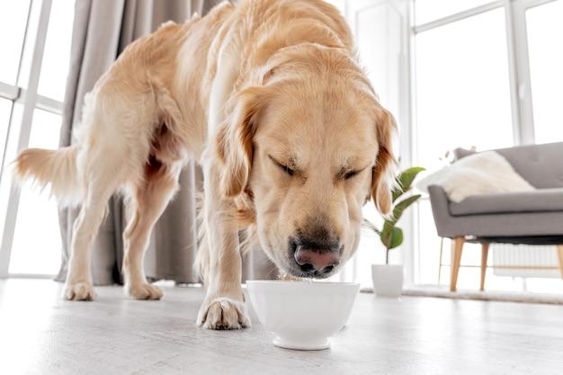 Nettes trinkwasser des golden retriever-hundes aus der schüssel, die zu hause auf dem boden steht