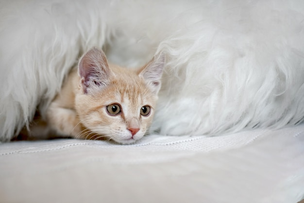 Nettes verängstigtes kätzchen spielt verstecken auf dem bett in einer decke. maulkätzchen, das aus seinem versteck späht