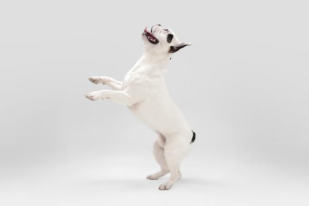 Nettes verspieltes weiß-schwarzes hündchen oder haustier spielt und sieht glücklich isoliert auf weiß aus