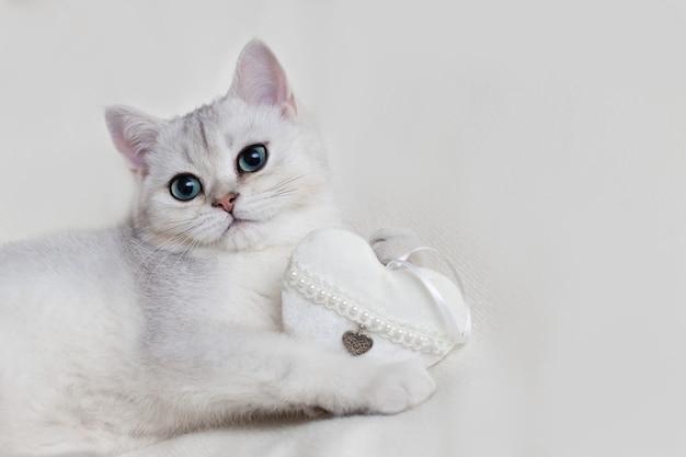 Nettes weißes britisches kätzchen auf einer weißen strickdecke mit einem weißen textilherz hält in seinen pfoten