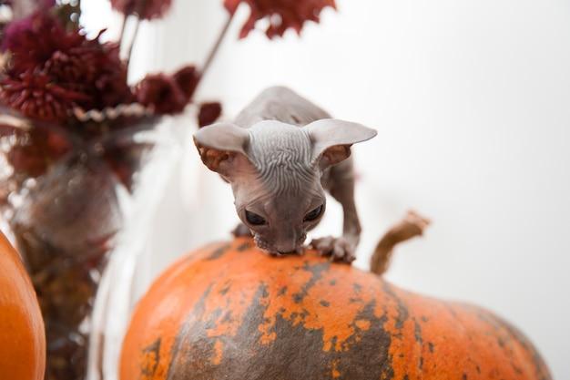 Nettes weißes don-sphynx-kätzchen, das auf halloween-kürbis sitzt