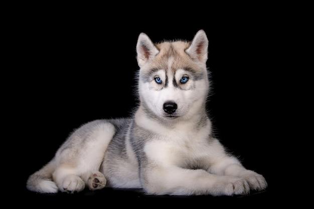Nettes welpenporträt des sibirischen huskys lokalisiert