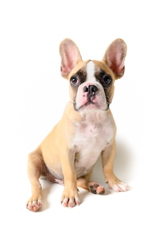 Nettes welpensitzen der französischen bulldogge lokalisiert