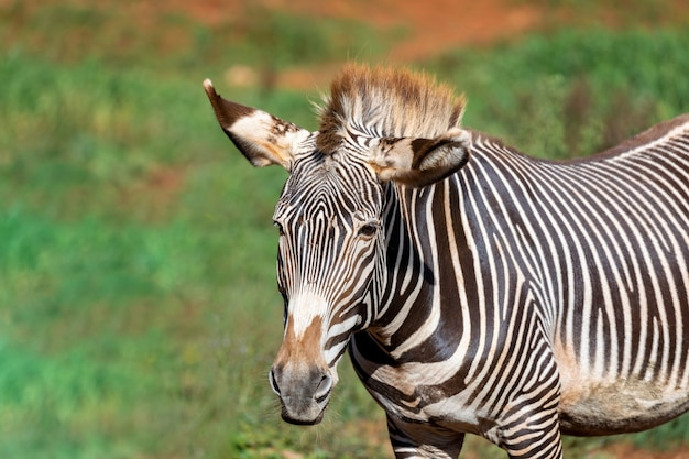 Nettes zebra, das auf dem gebiet weiden lässt