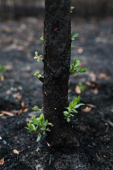 Neue blätter gewachsen, nachdem wald verbrannt wurde. wiedergeburt der natur nach dem feuer. ökologie / positives denken / einstellungskonzept